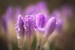 fresh into spring (koaxial) Tags: morning macro wet lumix drops crocus olympus dew 20mm tau morgen krokus tropfen nass f17 koaxial epl5 p3042401a1