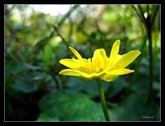 (CanMan90) Tags: flower macro yellow canon garden spring university bokeh britishcolumbia victoria vancouverisland workplace pointshoot finnerty cans2s sd1200is