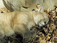 Puma (bookworm1225) Tags: zoo october minnesotazoo 2013 tropicstrail minnesotatrail