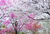 Cherry blossoms:樱花 (love_child_kyoto) Tags: flower garden spring kyoto 京都 桜 cherryblossoms botanicalgarden 春 春天 サクラ 京都府立植物園 betterthangood april2014