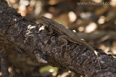 "Lizard • <a style=""font-size:0.8em;"" href=""http://www.flickr.com/photos/63501323@N07/16848153029/"" target=""_blank"">View on Flickr</a>"