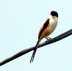 Long-tailed Shrike, Lanius schach (asterisktom) Tags: tripthaiphil20142015 philippines january 2015 bohol panglao panglaoisland shrike longtailedshrike laniusschach bird vogel ave 鸟 niao птица 鳥