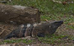 Lizard, Ctenosaur 7D0268 (ElizFlickr) Tags: costarica iguana garrobo ctenosaur ctenosaurasimilis villalapas tarcoles riotarcoles spinetailedlizard rivertarcoles blackigunana