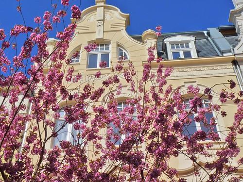 Kirschblüte 2015 in der Breite Straße