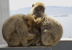 160421 Mother and kids (BY Chu) Tags: uk summit therock gibraltar barbarymacaque