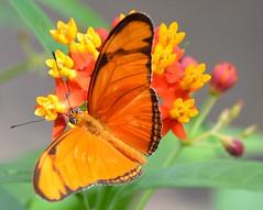 Dryas iulia in the sun (brigitte.watz) Tags: butterfly insect insekt orangebutterfly sommerfugl vliegendehollander flambeau dryasiulia juliabutterfly juliaheliconian theflame longlivedanddayactivebutterfly picturefromabutterflyhouse