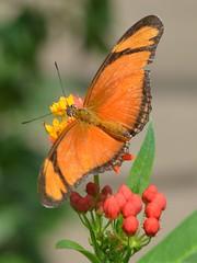 dryas iulia in the sun2 (brigitte.watz) Tags: butterfly insect insekt orangebutterfly sommerfugl vliegendehollander flambeau dryasiulia juliabutterfly juliaheliconian theflame longlivedanddayactivebutterfly picturefromabutterflyhouse