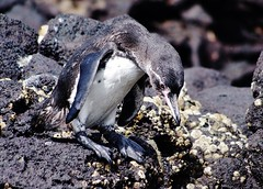 Galapagos Penquin Ready To Dive (Susan Roehl Thanks for 5.1 M Views) Tags: bird southamerica animal mammal penguin ecuador shoreline endangered lavarock spheniscusmendiculus photographictours pentaxk7 galapagos2013 naturalexposures sueroehl onlypengiuntolivenorthoftheecuador