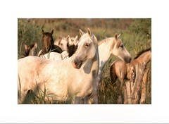 Le troupeau (tifanm_laurent) Tags: horses horse cheval freedom robe libert marais sauvages chevaux camargue saintesmariesdelamer crin bouchedurhne troupeau chevalblanc equin crinire herbeshautes deltadurhne chevauxsauvages equid