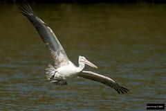 Spot-billed Pelican (Pelecanus philippensis) (Dave 2x) Tags: india inflight pelican mysore southindia pelecanus spotbilledpelican pelecanusphilippensis nearthreatened spotbilled philippensis