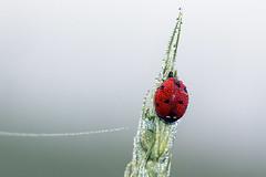 Morgentau (Reinhard_M) Tags: tau marienkfer morgentau coccinellidae