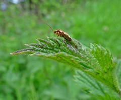 On Nettles (Bricheno) Tags: macro insect scotland escocia szkocja renfrew schottland scozia renfrewshire cosse  esccia   bricheno scoia