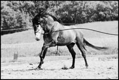 Junger Held aus Spanien (feldweg) Tags: caballo cheval pre spanier cavallo pura pferd stallion hest kon mecklenburg raza espaola hengst hven guthven
