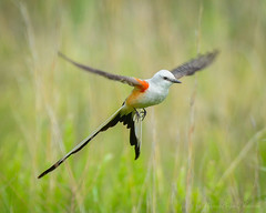 Scissor-Tailed Flycatcher in Flight (mbryan777) Tags: bird oklahoma nikon state tail flight split tamron acrobatic d800 flycatcher kingbird scissortailedflycatcher tyrannusforficatus scissortailed oklahomastatebird 150600mm d8j1670wm