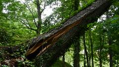DSCN1422 (VerlynC) Tags: tree falling hickory
