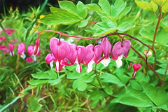Bleeding Hearts. . . (Kathy_9) Tags: sketch spring bleedinghearts hss akvis topazdetail topazimpression pspx8