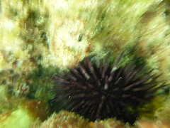 Sea urchin on the Omeo (Figgles1) Tags: sea shark snorkel snorkeling shipwreck barrier wreck urchin urchins eco coogee seaurchin seaurchins omeo p1020529 coogeeecosharkbarrier