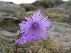 Soldanella (aletscharena) Tags: schweiz sommer wallis bettmeralp unescowelterbe alpenblumen alpenkruter aletscharena