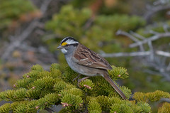 White-throated Sparrow (Nsharp17) Tags: sparrow whitethroatedsparrow