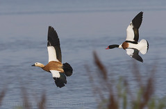Ruddy Shelduck (Tadorna ferruginea) & Common Shelduck (Tadorna tadorna) (macronyx) Tags: bird birds birding birdwatching nature wildlife aves fglar oiseaux vogel wildfowl waterbird duck and rostand shelduck ruddyshelduck tadorna tadornaferruginea