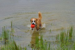 015 (RW~Jr Photography) Tags: dog pet pets dogs water fetch