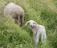 guck guck (wpt1967) Tags: sheep lamb ruhrgebiet schafe schaf ruhrpott lamm castroprauxel erinpark wpt1967 fujix30
