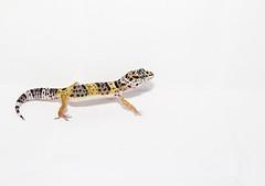 Gecko leopardo. (Pablin79) Tags: pet white macro argentina colors up leopardo close reptile flash indoor leopard gecko upclose lightbox misiones posadas eublepharismacularius