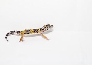 Gecko leopardo.