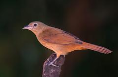 TI-PRETO fmea (Tachyphonus coronatus) (Dario Sanches) Tags: ave passaro natureza brasil registro valedoribeira