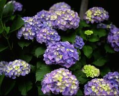 (  / Yorozuna) Tags: plant flower color japan tokyo purple violet  hydrangea   analogphotography bluepurple  6   mamiyarb67     hydrangeamacrophylla    blueviolet kawadacho  shinjukuward  filmscanning mamiyarb67professionals    wakamatsukawada     mamiyasekorc138f90mm