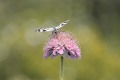 Marbled White (hanley27) Tags: butterfly reserve l f4 marbledwhite canon70200mm ywt wharramquarry