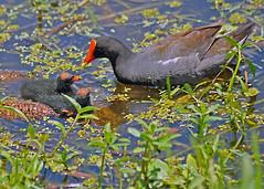 MudhenFeeding (mykadog) Tags: lake green nature water grass birds ducks