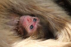 In a mother's arms (ellievking1) Tags: nature animals japan monkeys hotspring nagano jigokudani macaques monkeypark yudanaka
