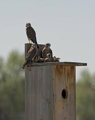American Kestrel Chicks (Darin Ziegler) Tags: urban nikon colorado nest young coloradosprings prey americankestrel d500 nestbox sparrowhawk falcosparverius darinziegler afsteleconvertertc20eiii afsvriinikkor300mmf28gifed