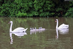 Mute Swans and cygnets (Jeff G Photo - 2m+ views! - jeffgphoto@outlook.com) Tags: park lake bird water birds swan cygnet southpark swans waterfowl cygnets muteswan muteswans formationswimming southparkilford formationswimmers