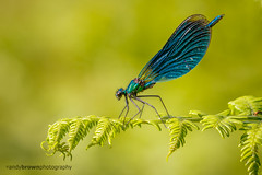 Beautiful Demoiselle (m) (ABPhotosUK (Thanks for 600 followers)) Tags: macro animals canon wildlife devon nocrop dartmoor damselflies invertebrates odonata zygoptera beautifuldemoiselle calopteryxvirgo rivertavy ef25mmextensiontube eos7dmarkii ef100400mmisii