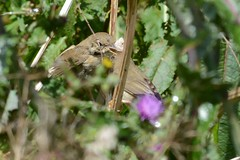 HNS_6836 Fitis : Pouillot fitis : Phylloscopus trochilus : Fitis : Willow Warbler