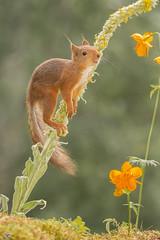 flower jump (Geert Weggen) Tags: mammal rodent squirrel nature animal red flower perennial closeup cute plant funny happy summer ground spring bright light branch look smell love tender hold yellow geert weggen hardeko
