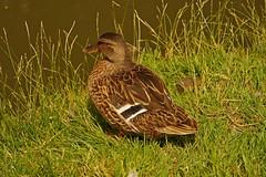 1295-26L (Lozarithm) Tags: aylesbury bucks canals guc ducks pentaxzoom k1 28105 hdpdfa28105mmf3556eddcwr