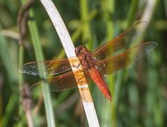 Red Dragon. (Omygodtom) Tags: dragonfly red outdoors pond nature natural summer explorer elitebugs existinglight insect bokeh bug nikon d7100 nikon70300mmvrlens