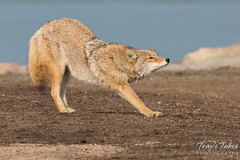 Female coyote stretches