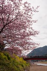 DS7_1718.jpg (d3_plus) Tags: street sea sky plant flower nature car rain japan drive spring scenery cloudy wideangle rainy  cherryblossom  sakura   shizuoka    touring  izu  kawasaki  superwideangle  kawazu          a05  kawazuzakura  1735mmf284 tamronspaf1735mmf284dildasphericalif tamronspaf1735mmf284dildaspherical d700  nikond700 tamronspaf1735mmf284dild tamronspaf1735mmf284 kawazucherryblossom tamronspaf1735mmf284dildasphericalifmodela05