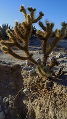 Anza_Cactus
