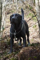 Monk (Chris D2006) Tags: dog woodland labrador blacklabrador
