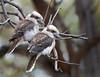 2 kookas (gtar1958) Tags: birds nikon australian d3 200400vr kookab