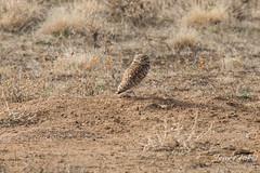 Watchful Burrowing Owls
