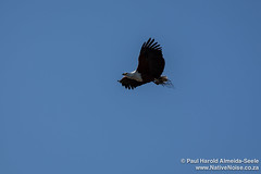 Fish Eagle Flying Over Chobe National Park, Botswana