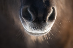 Big mouth (Reynald HENRY) Tags: winter horse oslo norway norge nikon 300mm f28 afs d800