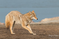 Female coyote stretches