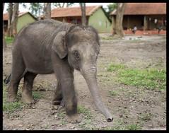 Elephant : Murkal (indianature13) Tags: elephant nature karnataka coorg elephantcamp babyelephant 2014 nagarhole nagarahole adivasi indianature murkal nanju thithimathi